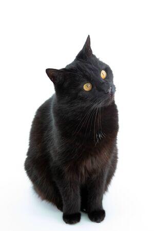 Beautiful black cat poses on a white background Foto de archivo