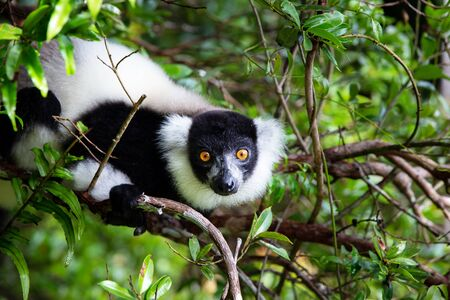 The lemur on a tree, between the foliage in a rainforest in Madagascar Banco de Imagens