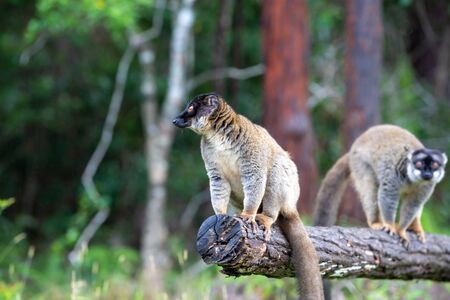 The Lemurs on a log hanging over the water Stok Fotoğraf