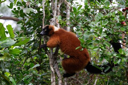 One red Vari Lemur sits on a branch of a tree