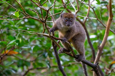 The Funny bamboo lemurs on a tree branch watch the visitors