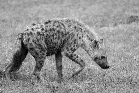 One hyena walks in the savanna in search of food