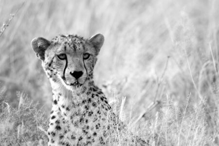 One portrait of a cheetah in the grass landscape