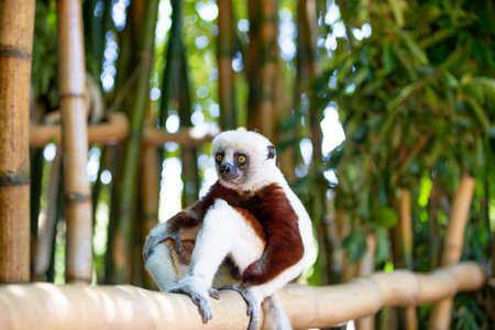 The Coquerel Sifaka in its natural environment in a national park on the island of Madagascar. Фото со стока