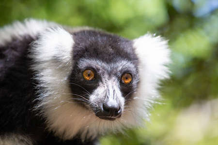 A black and white Vari Lemur looks quite curious. Фото со стока