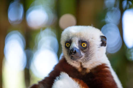 The Coquerel Sifaka in its natural environment in a national park on the island of Madagascar
