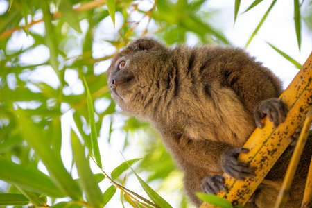 A bamboo lemur sits on a branch and watches the visitors to the national park
