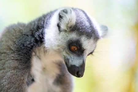 A funny ring-tailed lemur in its natural environment 版權商用圖片