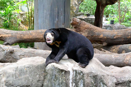 Sun bear play on rock in zoo