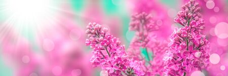Pink Lilacs With Sunlight And Bokeh - Spring Background Banner