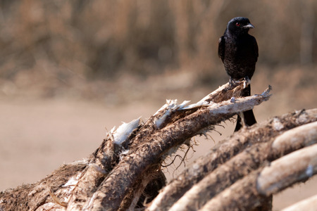 sheen: Fork tailed Drongo Stock Photo
