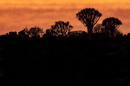 quiver: Quiver trees on sunset  Stock Photo