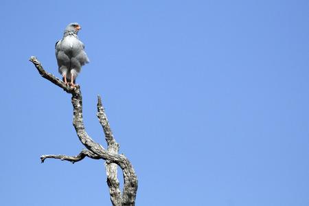 chanting: Pale Chanting Gos Hawk