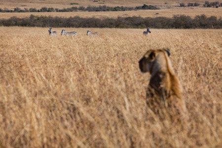 overseer: lion looking for a meal  Stock Photo
