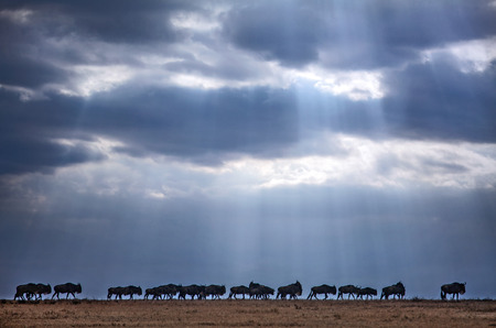 Wildebeest with sun beam