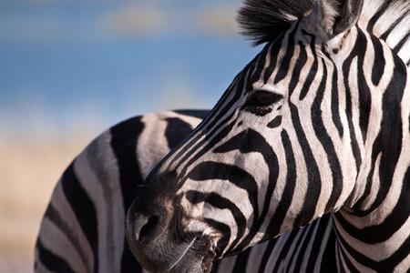 zebra: cebra de cerca Foto de archivo