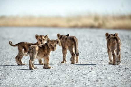 cubs: Lion cubs