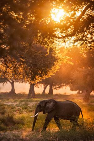 elephants walking 版權商用圖片