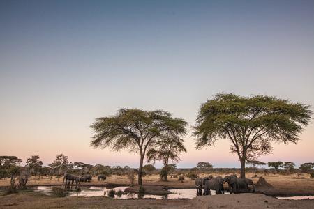 Elephants drinking photo