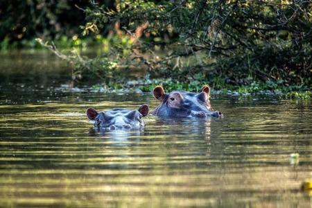 shaddow: hippos Stock Photo