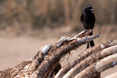 carcass: vogel op karkas Stockfoto