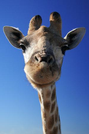 animal head giraffe: giraffe