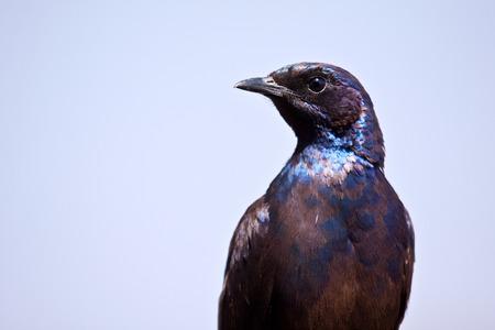 sheen: Glossy Starling