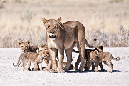 lion tail: lioness and cubs