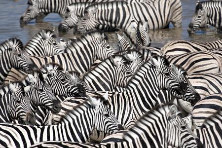 zebra head: zebra herd