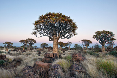 luderitz: Quivertree