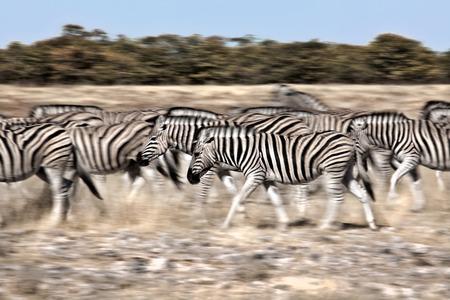 quenching: zebra motion Stock Photo