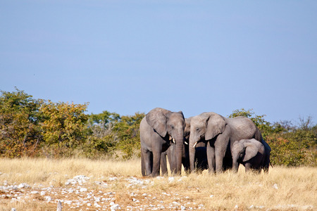 zambezi: elephants walking Stock Photo