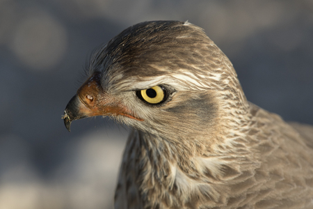 Young pale chanting goshawk