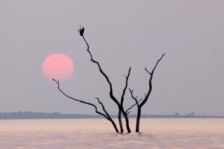 Fish Eagle in a tree Banco de Imagens