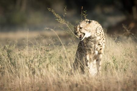 Cheetah snarling