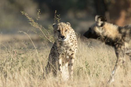 Cheetah being harased by a Wild Dog