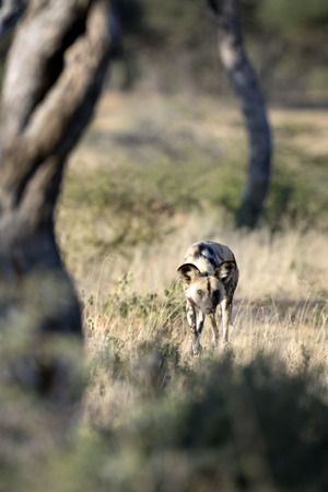 Wild dog hunting Stock Photo