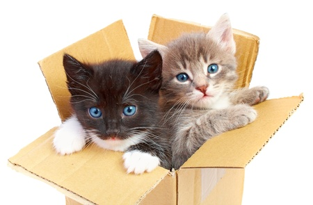 kittens in box isolated on white background photo