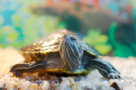 (Pseudemys scripta troostii) slider turtle Stock Photo