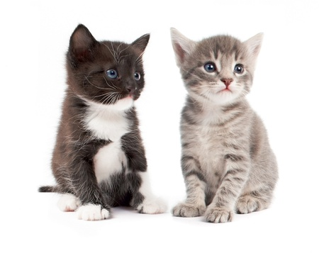 kittens isolated on white background photo
