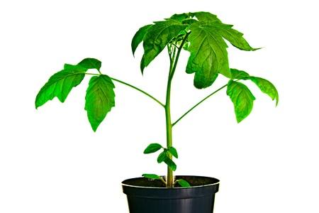Tomato Seedling Plant On White