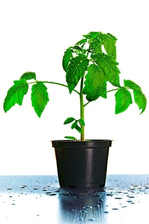 Tomato Seedling Plant On White photo