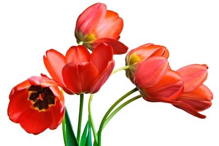 arreglo floral: Tulipanes aislado en fondo blanco Foto de archivo