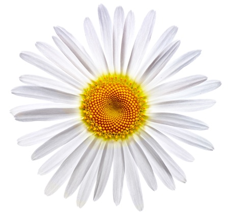 chamomile flower: lovely chamomile on white background Stock Photo