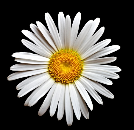 chamomile flower: lovely camomile on black background Stock Photo