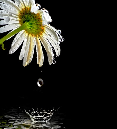 chamomile flower: lovely chamomile on black background Stock Photo