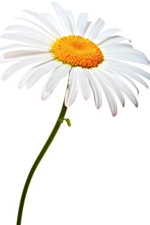 marguerite: Lovely camomille sur fond blanc