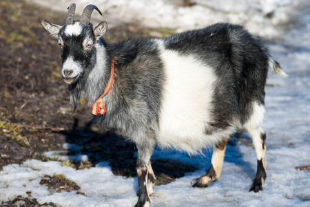 non urban scene: happy goat