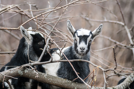 graze: several young goats graze in the forest Stock Photo