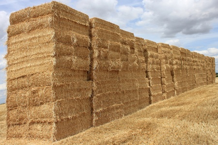 several bales of straw stacked in a field of wheat for a natural biological agricuture